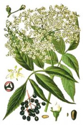 COLOR ELDERBERRY - ANTI-INFLAMMATION