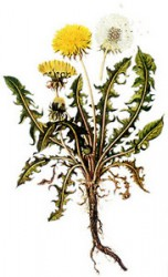 DANDELION ROOTS, BURDOCK AND ELECAMPANE - A CURE FOR MANY DISEASES