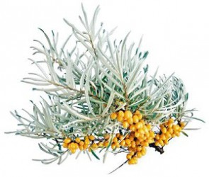 CURATIVE SEA BUCKTHORN BERRIES OVERCOME FATIGUE AND STRENGTHEN THE BODY