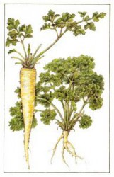 THE DAILY DOSE OF IRON TO THE BODY WILL PROVIDE PARSLEY