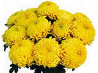FROM AUTUMN BLUES WILL SAVE CHRYSANTHEMUM