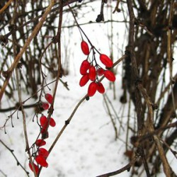 BERBERIS VULGARIS WILL RELIEVE THE BODY OF STONES