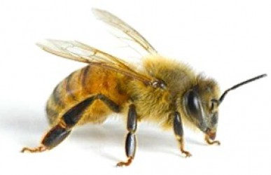 BEE PRODUCTS IS AN EFFECTIVE TOOL IN THE TREATMENT OF JOINTS AND SPINE