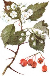 "HAWTHORN IS A CURE FOR ""SENILE"" HEART"