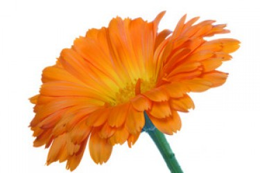 CALENDULA WILL HELP TO GET RID OF DIFFERENT DISEASE