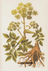 ANGELICA - HERB OF THE ARCHANGEL""