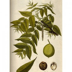 BLACK WALNUT HAS ANTIHELMINTHIC AND ANTIBACTERIAL ACTIVITY