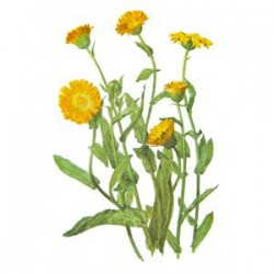 ANTIBACTERIAL OINTMENT OUT OF CALENDULA FLOWERS