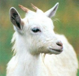 GOAT MILK IS USEFUL FOR FAILING HEART