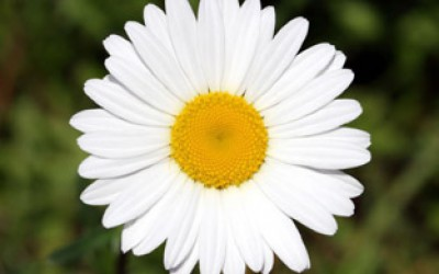 CHAMOMILE OINTMENT WILL EASE PAIN IN THE CRITICAL DAYS