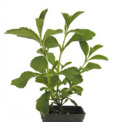 HONEY HERB STEVIA