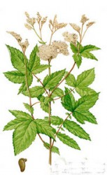 FILIPENDULA VULGARIS HAS A HEMOSTATIC EFFECT, BUT THE BLOOD DOES NOT THICKEN